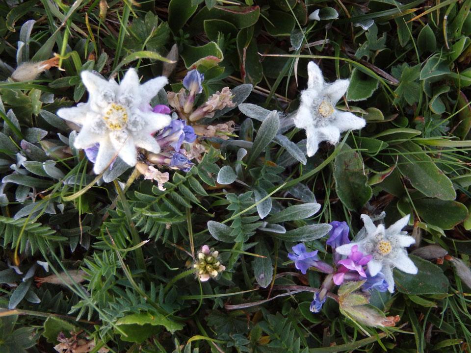 edelweiss-wiese