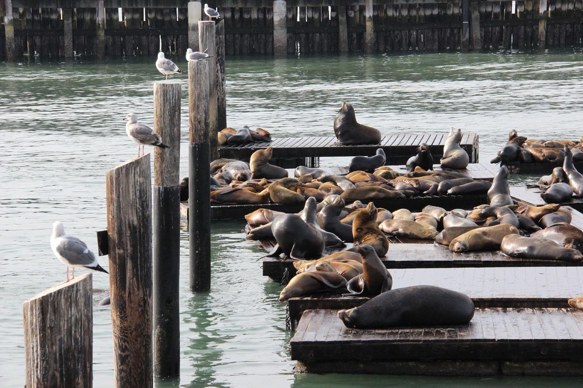 Seelöwen in San Francisco