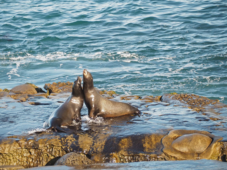 sandiego lajolla 2 1 - San Diego - mexikanischer Flair, Strände, Seelöwen und viel mehr