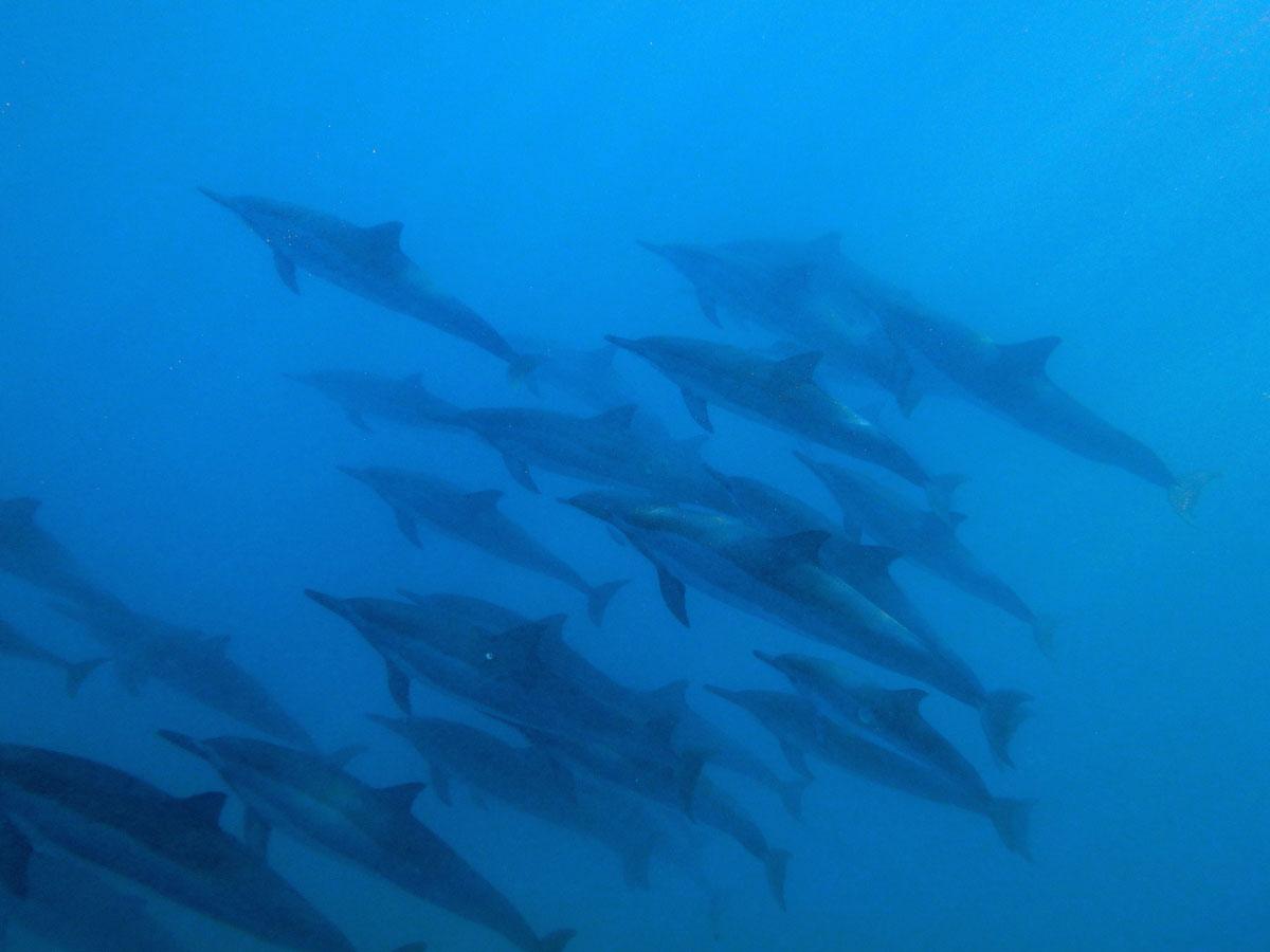 hawaii-delfinschwimmen