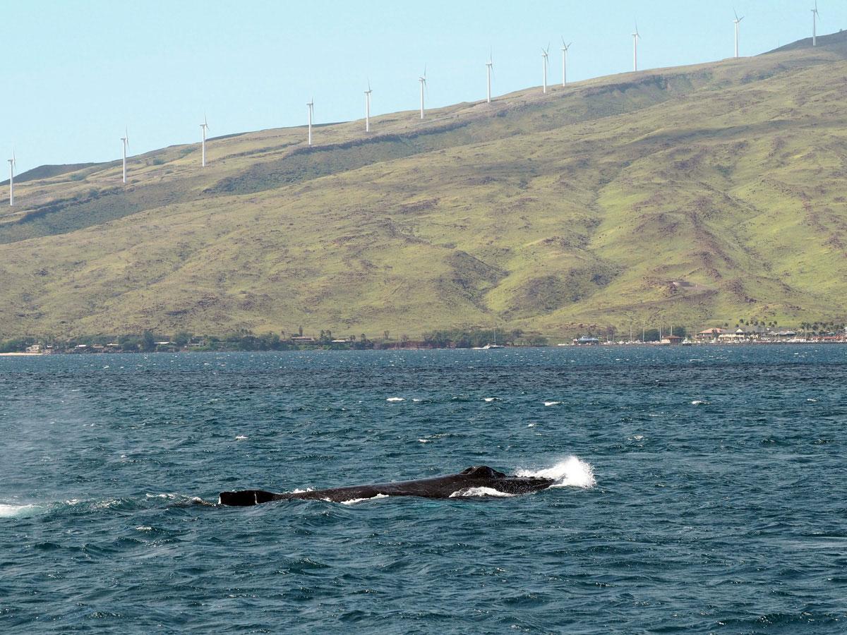 maui-whalewatching-(1)