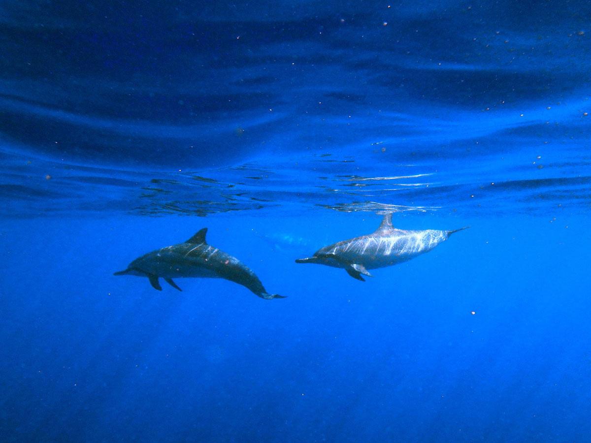 bigisland-hawaii-honaunau-bay-dolphin-(4)