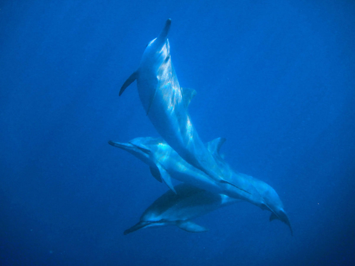 bigisland-hawaii-honaunau-bay-dolphin-(5)