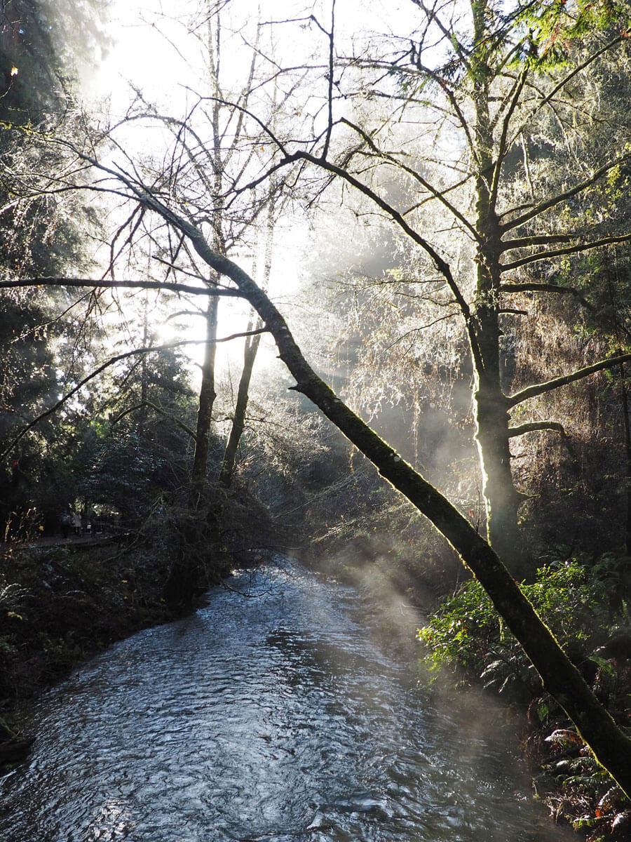 muir woods 1 - Mammutbäume im Muir Woods Park in der Nähe von San Francisco