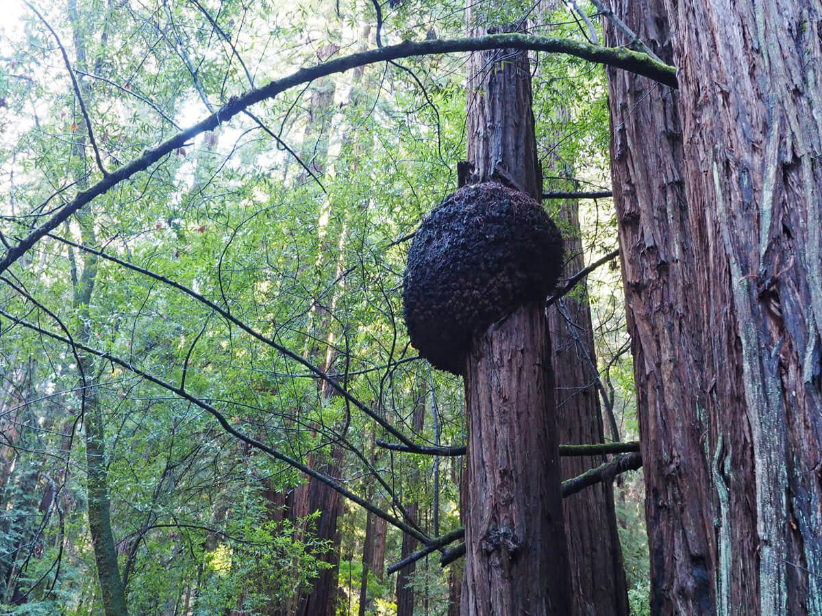 muir woods 10 - Mammutbäume im Muir Woods Park in der Nähe von San Francisco