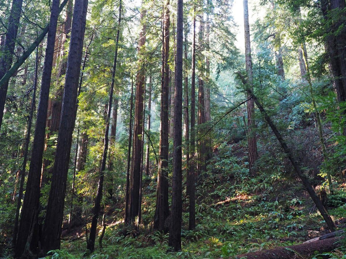 muir woods 12 - Mammutbäume im Muir Woods Park in der Nähe von San Francisco