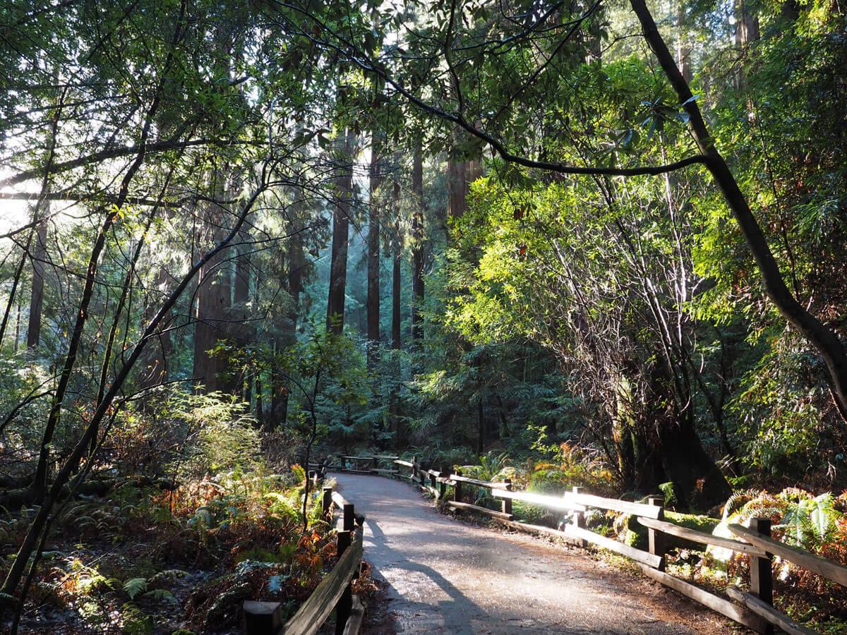 muir woods 13 - Mammutbäume im Muir Woods Park in der Nähe von San Francisco