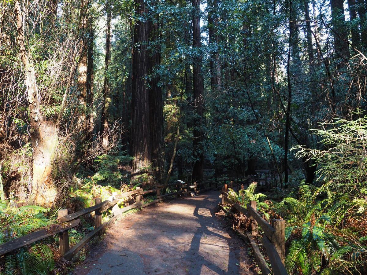muir woods 14 - Mammutbäume im Muir Woods Park in der Nähe von San Francisco