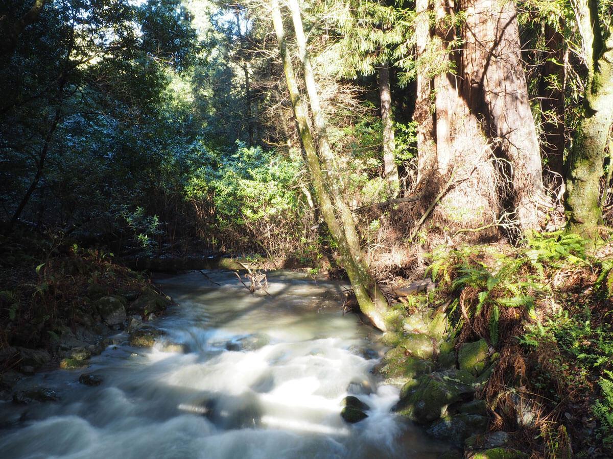 muir woods 15 - Mammutbäume im Muir Woods Park in der Nähe von San Francisco