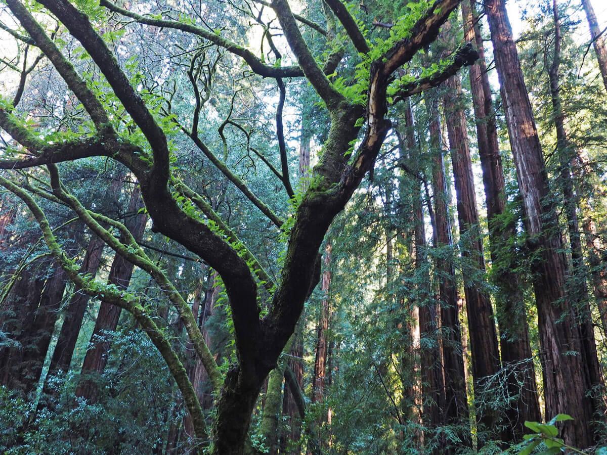 muir woods 3 - Mammutbäume im Muir Woods Park in der Nähe von San Francisco