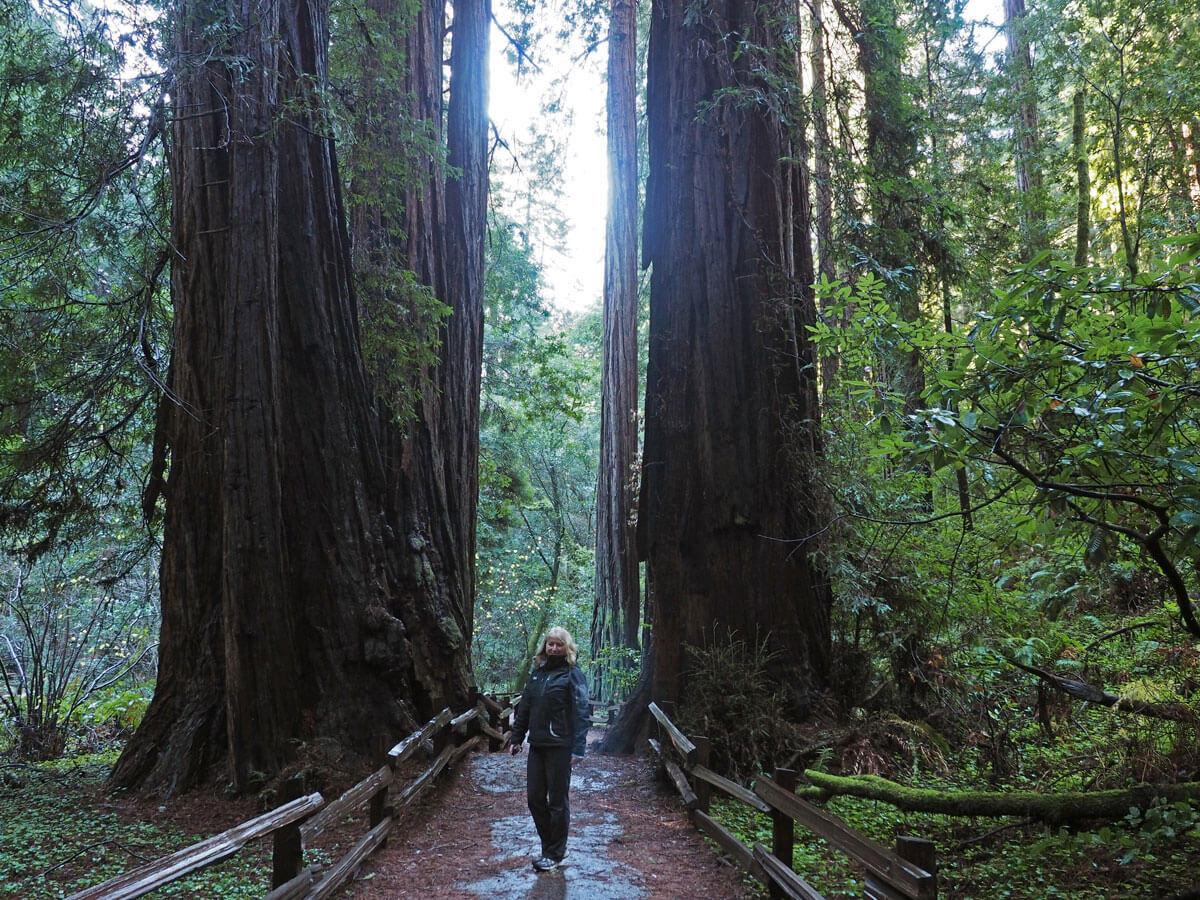 muir woods 7 - Mammutbäume im Muir Woods Park in der Nähe von San Francisco