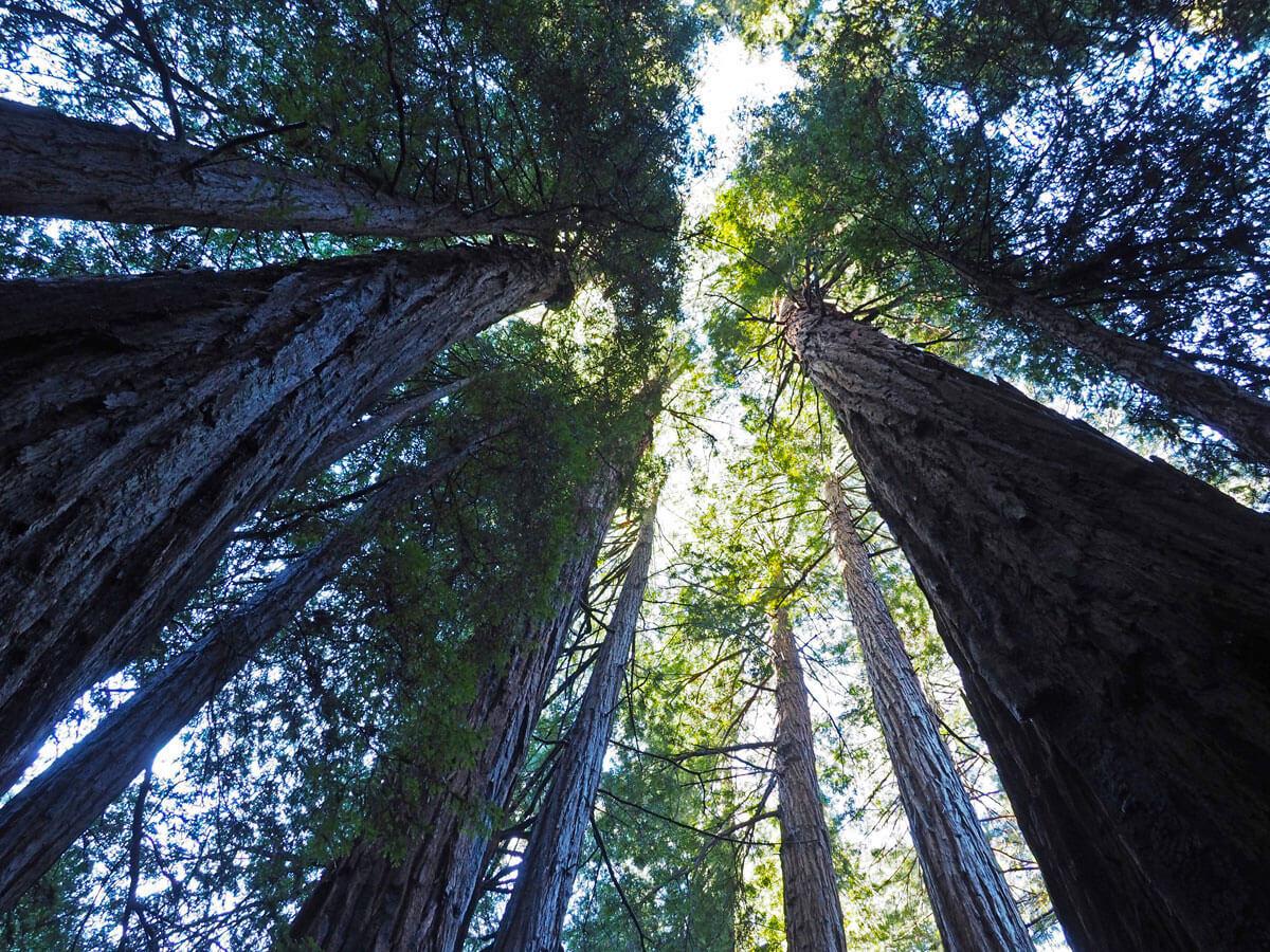 muir woods 8 - Mammutbäume im Muir Woods Park in der Nähe von San Francisco