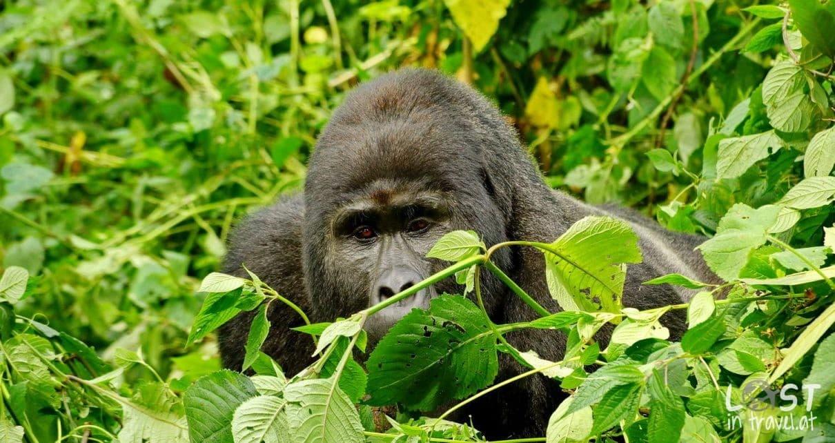 Gorilla Bwindi 1210x642 - Roadtrip Empfehlungen von Reisebloggern