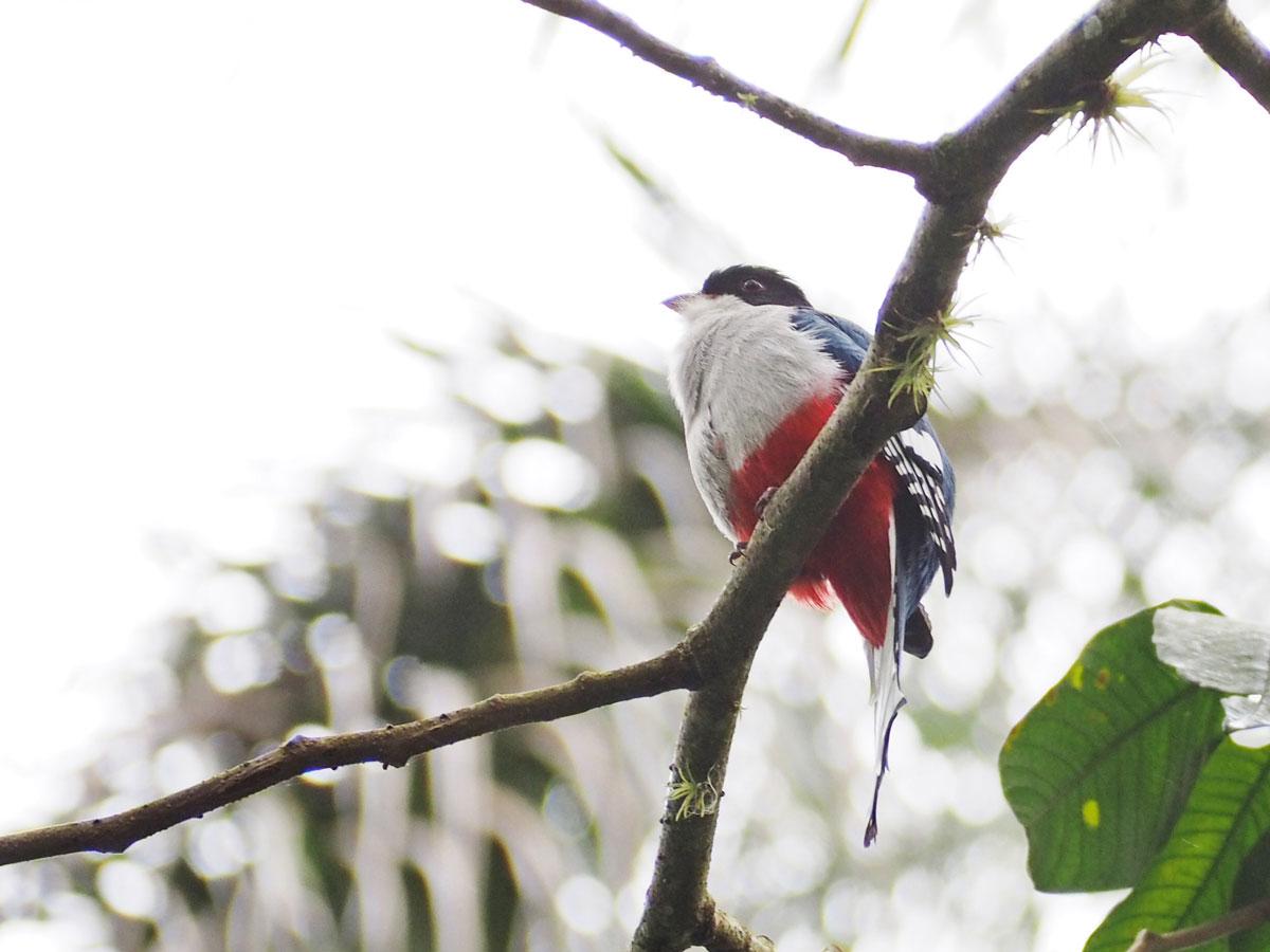 Typisch kubanischer Vogel