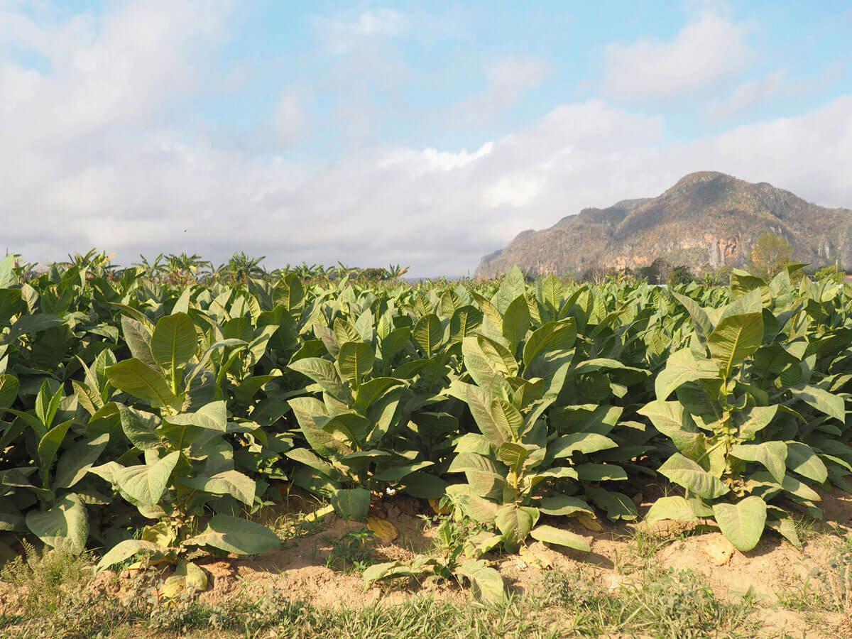 vinales tal kuba reise 40 - 6 Reisetipps für das Vinales Tal in Kuba
