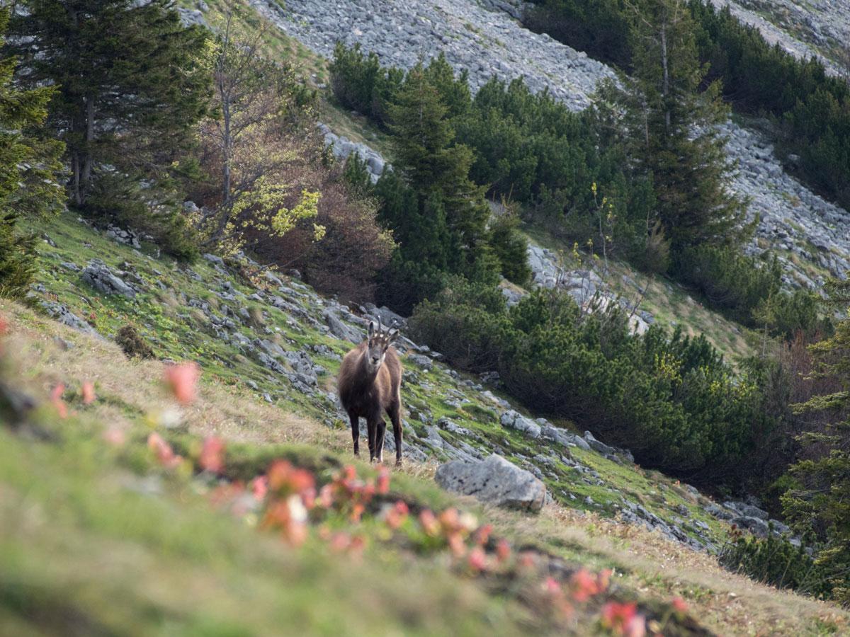 schafberg wandern 20 - Wandern auf den Schafberg beim Wolfgangsee
