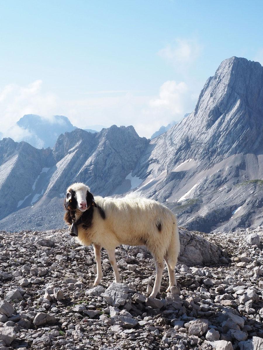 Schafe bei der Wanderung auf die Zugspitze
