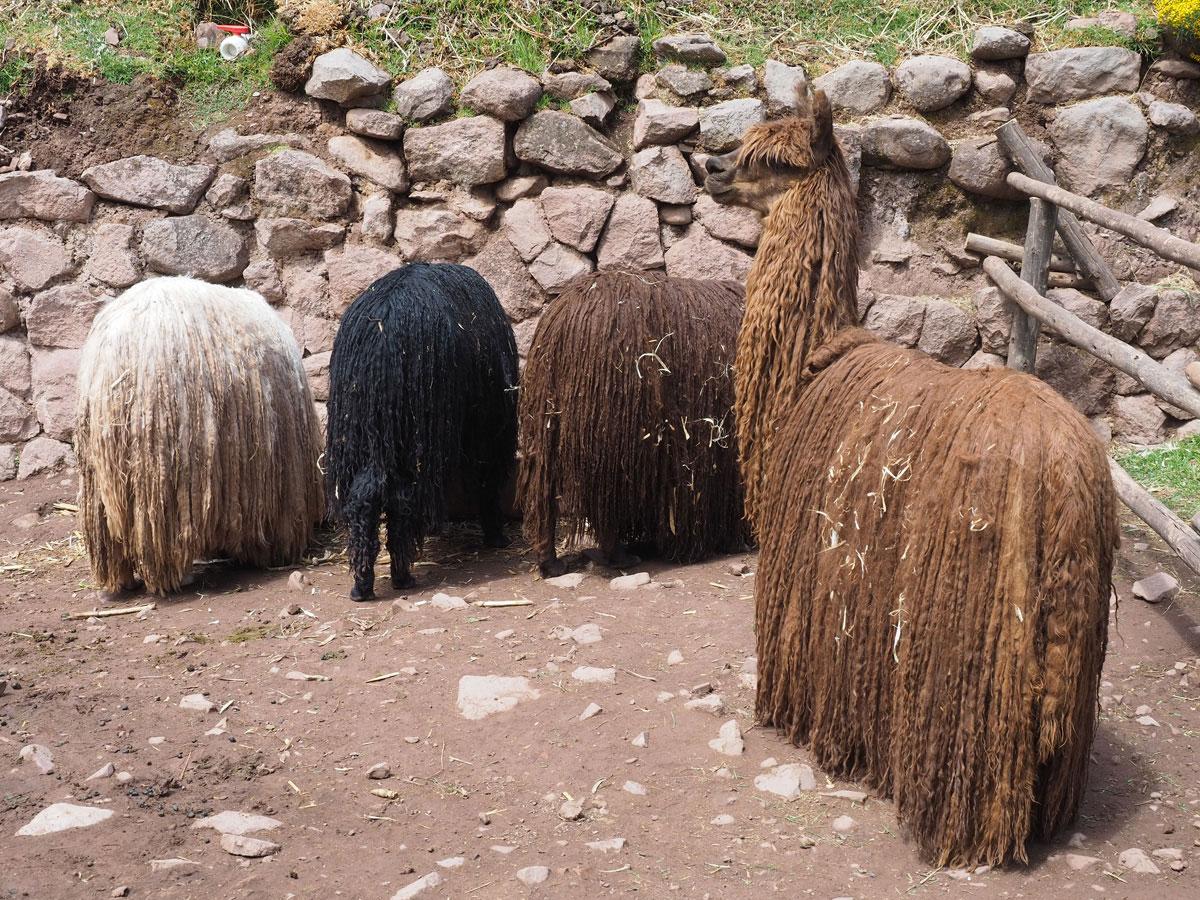 00alpakafarm 1 - Sehenswürdigkeiten & Reisetipps für das heilige Tal der Inka in Peru