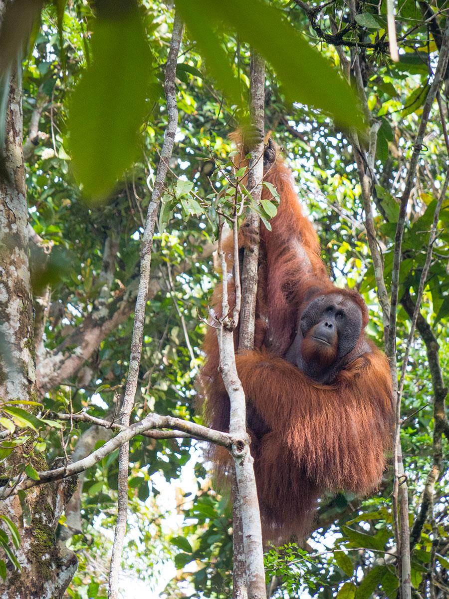 borneo orang utan - (Deutsch) Meine schönsten Reisefotos 2019 - Fotoparade