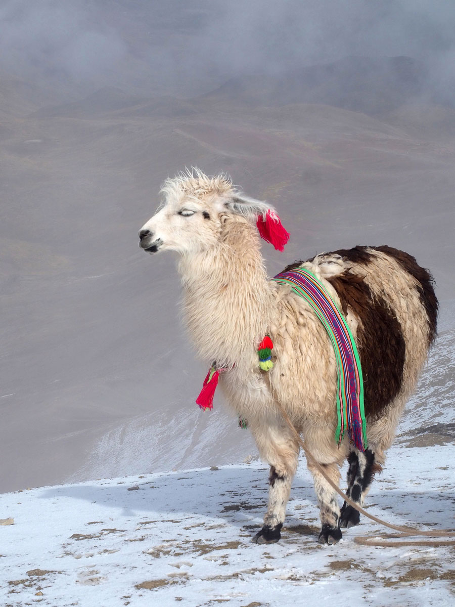 Lama am Rainbow Mountain