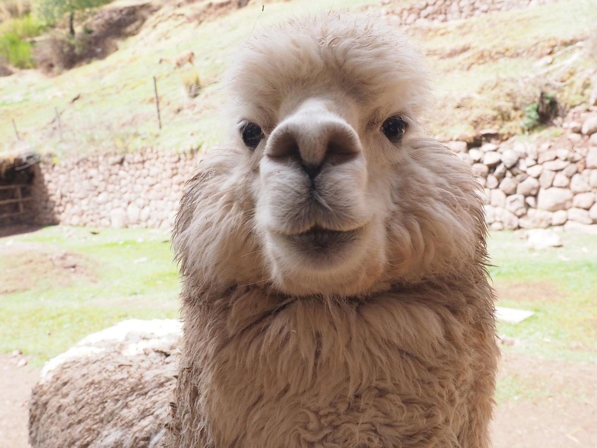 00alpakafarm 2 - Sehenswürdigkeiten & Reisetipps für das heilige Tal der Inka in Peru
