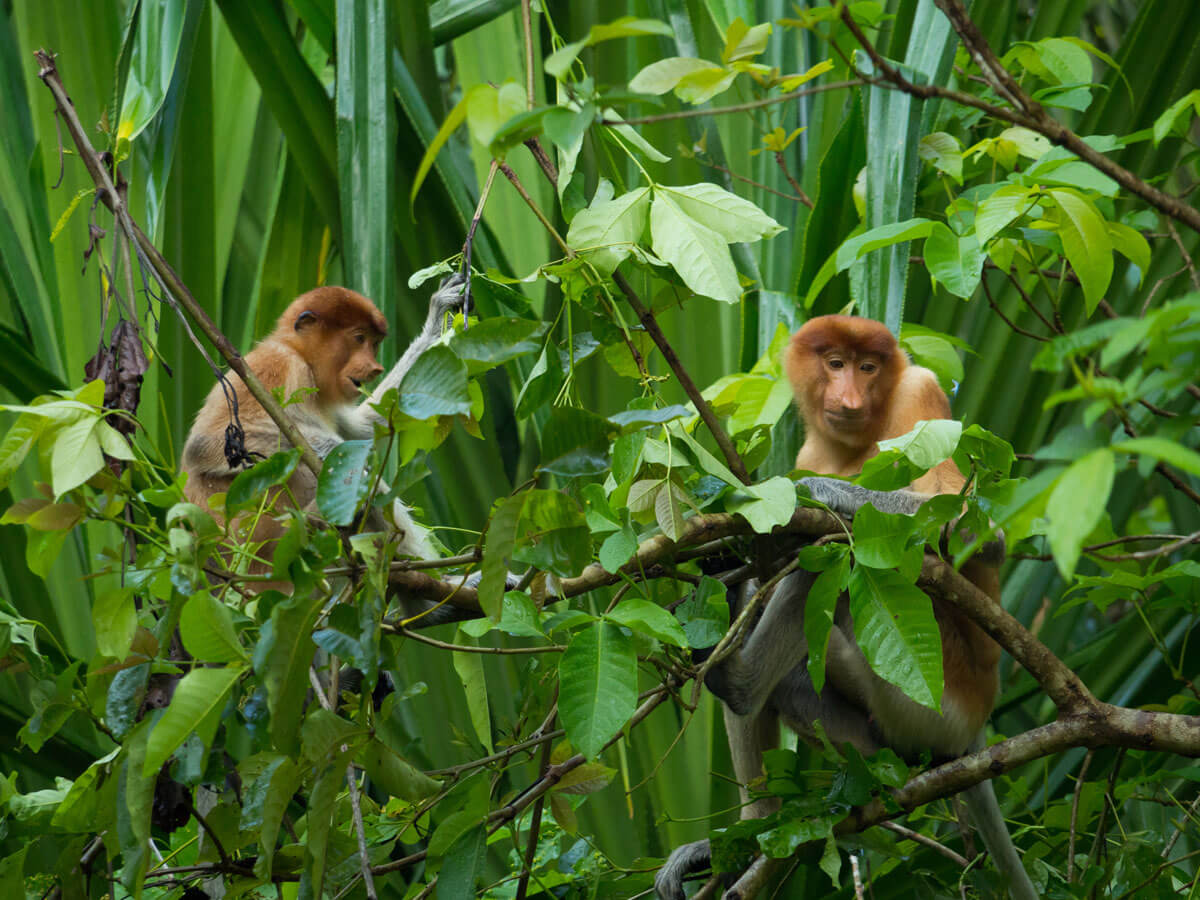 "Nasenaffen Bako Nationalpark Borneo ("")"