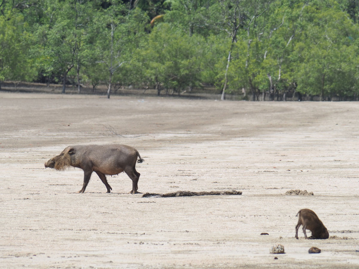 Wildschweine Bako Nationalpark