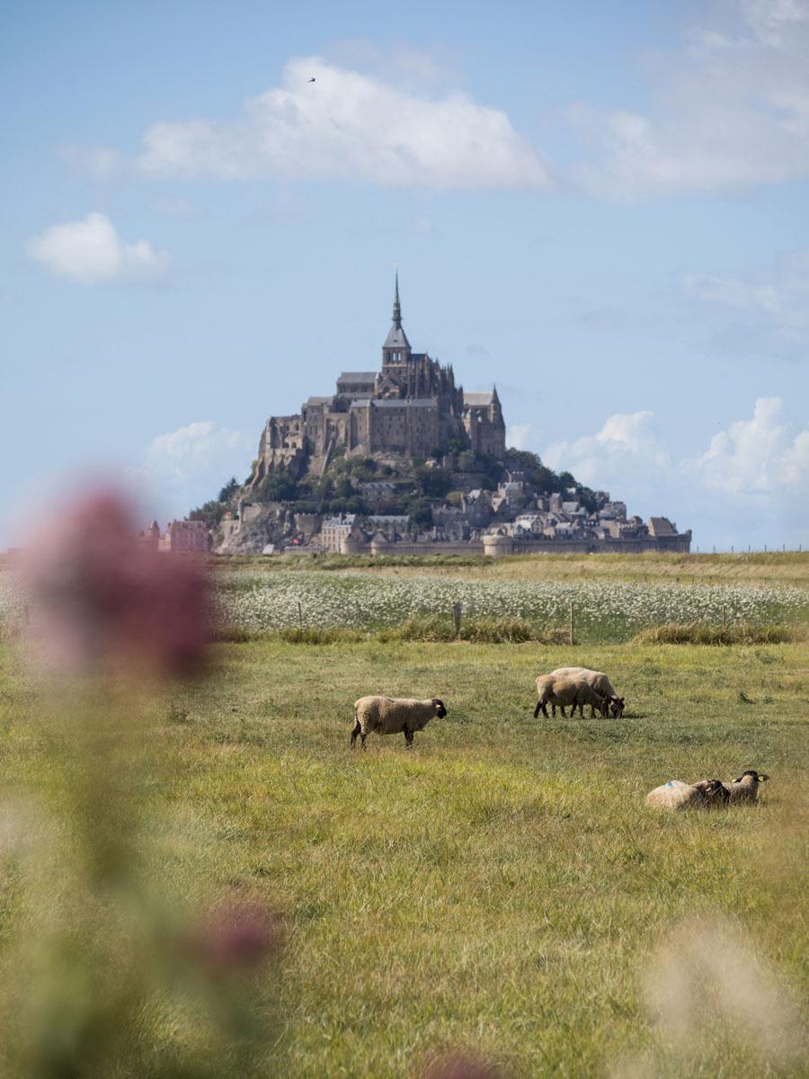 """Mont Saint Michel Normandie Frankreich Schafe ("""")"""