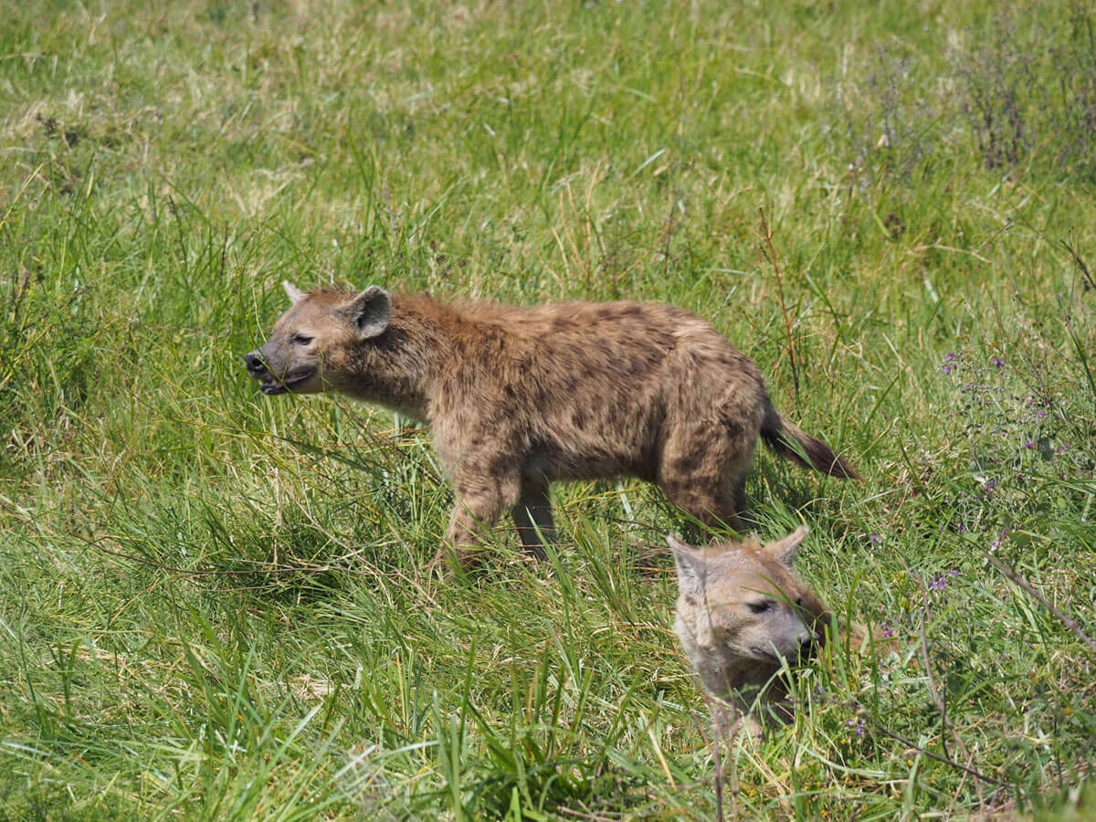 "Ngorongoro Crater Tansania Safari """