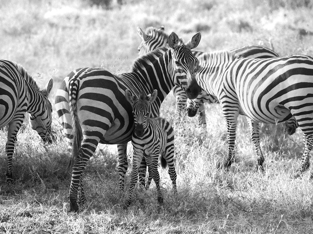 Zebra Tansania